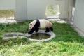 giant-panda-asal-tiongkok-tambah-koleksi-taman-safari_20170928_210544.jpg