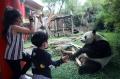 Melihat Lebih Dekat Panda di Taman Safari