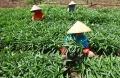 panen-kangkung-darat-di-kampung-bahuan-kabupaten-bandung_20200830_223936.jpg