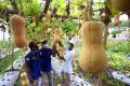 panen-perdana-melon-premium-alisha-f1_20210610_194738.jpg
