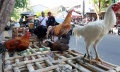 pedagang-ayam-kampung-laris-manis-jelang-iedul-fitri-1442-h_20210511_223641.jpg