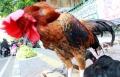 pedagang-ayam-kampung-laris-manis-jelang-iedul-fitri-1442-h_20210511_223715.jpg