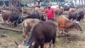 pedagang-hewan-kurban-laris-manis_20210606_201547.jpg
