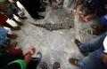 Penangkapan Buaya Liar di Medan