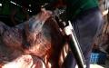 penyembelihan-sapi-kurban-di-rph-terapkan-protokol-kesehatan_20200731_224606.jpg