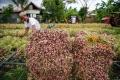 petani-bawang-melakukan-panen-di-aceh-besar_20170209_164151.jpg