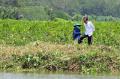 presiden-jokowi-menanam-pohon-mangrove-di-desa-tritih-kulon_20210923_193655.jpg