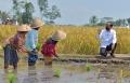 Presiden Jokowi Tinjau Lokasi Tanam dan Panen Padi di Desa Kanigoro
