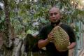 Sensasi Makan Durian Di Tengah Kebun