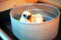 TMII Berhasil Tetaskan Telur Burung Elang Jawa