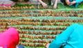 Warga Kebonharjo Membuat 9999 Tumpeng Tempe Mini