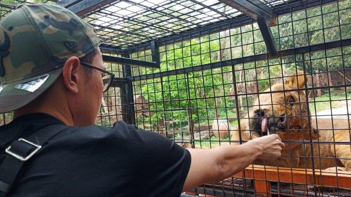 Pengunjung saat memberi makan langsung seekor singa di Taman Safari Bogor