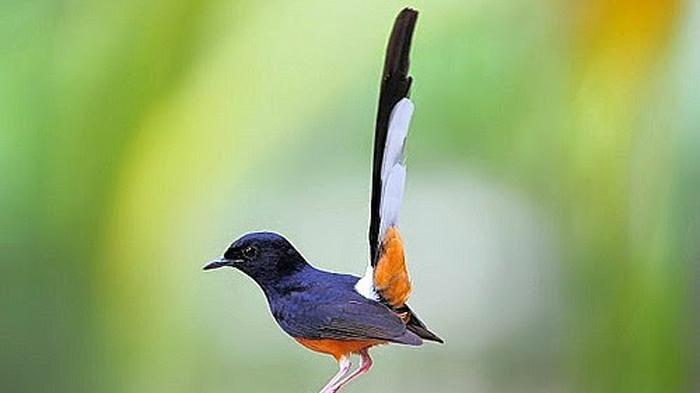 Burung-Murai.jpg