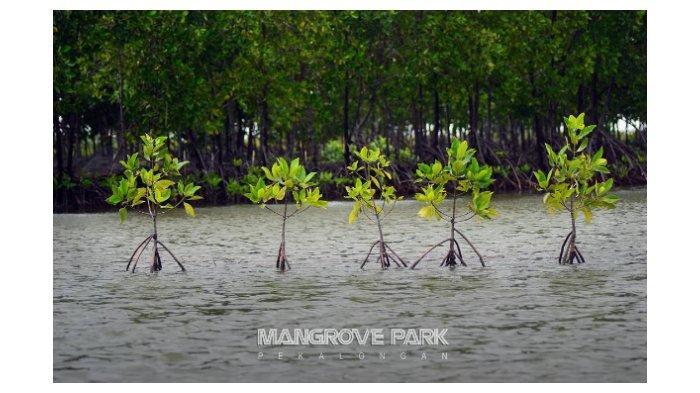 Mangrove-Pekalongan-1.jpg