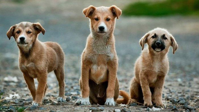 Sekitar 13.700 anjing dibunuh untuk dikonsumsi di daerah Jawa Tengah terkhusus Solo. Ganjar menyatakan bahwa anjing bukanlah hewan konsumsi