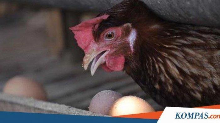 Karena tak bertelur pria ini menyembeli ayamnya, namun ternyata menemukan hal mengejutkan yakni harta karun.