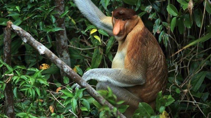 Hewan Bekantan di pulau Kalimantan.