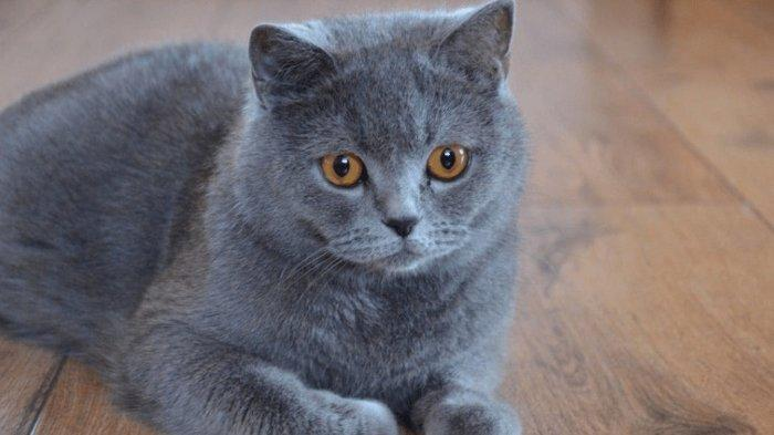 British Shorthair Tribunnewswiki Com Mobile