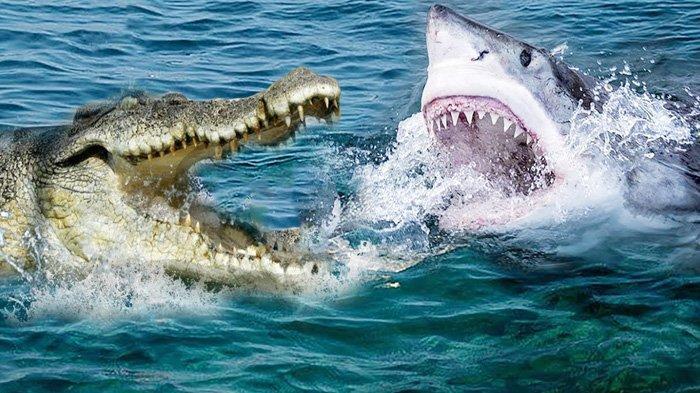 buaya vs hiu 001