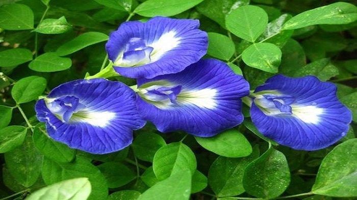 Ilustrasi bunga telang berwarna biru keunguan   Pinterest.com