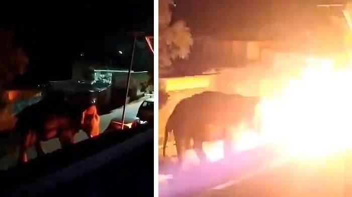 gajah-dibakar-007.jpg