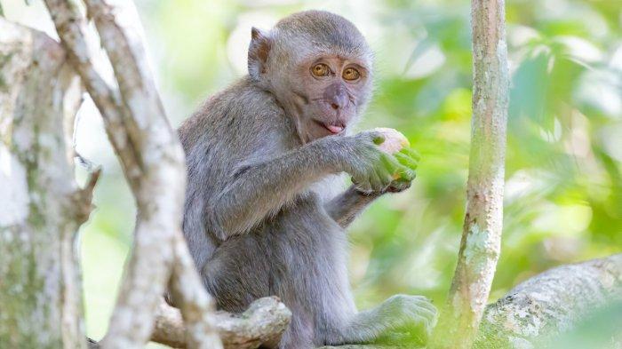 ilustrasi-seekor-monyet-6.jpg