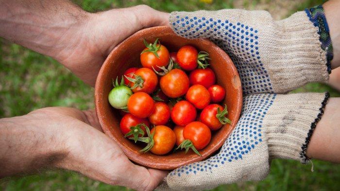 ilustrasi-tomat-1245.jpg