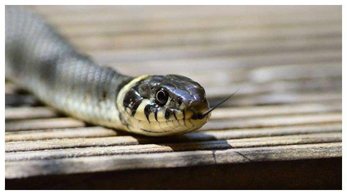 Ilustrasi ular berbisa