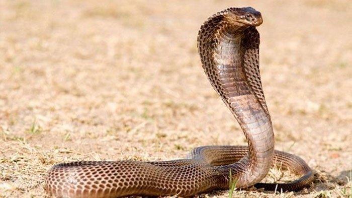 Awalnya mengira kakinya kesemutan, ternyata kaki pria ini digigit king kobra, masih nekat jalan satu kilometer kini kondisinya mengerikan.