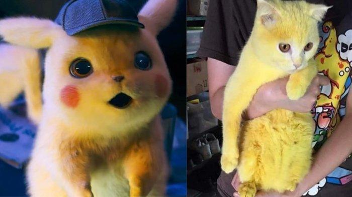 kucing-berubah-bulunya-menjadi-kuning-seperti-pikachu-setelah-diobati-karena-terinfeksi-jamur-kulit.jpg