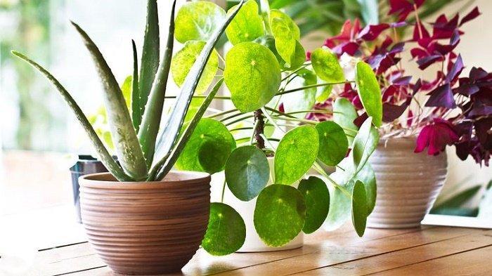 merawat tanaman hias dalam ruangan
