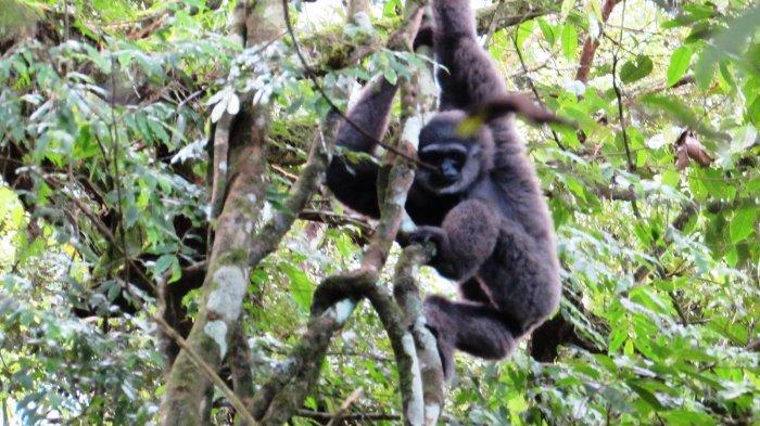Owa dari kawasan Taman Nasional Gede Pangrango.