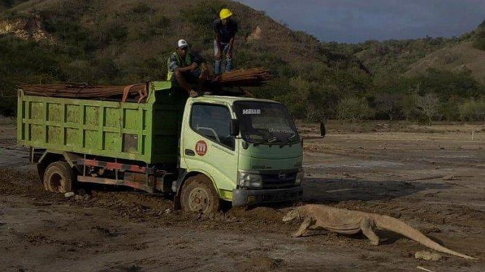 Seekor komodo terlihat menghadang truk yang bekerja dalam pembangunan obyek wisata Pulau Rinca.