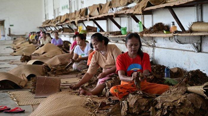 Pekerja perempuan tengah menata lembaran daun tembakau untuk kemudian dikirim ke pabrik rokok