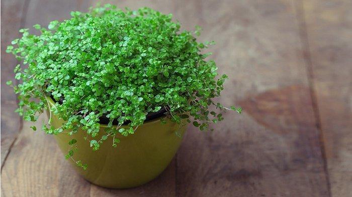 tanaman hias indoor