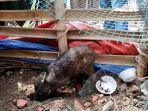 Viral Babi Ngepet di Depok, Kapolsek Sawangan Bantah Ukurannya Menyusut: Ukurannya Memang Kecil