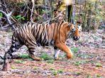Viral Foto Pengendara Motor yang Lewat Jalan Ini Harus Berhenti saat Ada Harimau Menyeberang