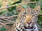 Seorang Wanita Tewas Diterkam Macan Tutul saat Asyik Nongkrong di Teras Rumah