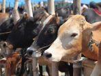 ilustrasi-sapi-sebagai-hewan-kurban.jpg