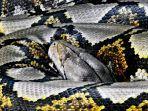 ilustrasi-ular-piton-56321.jpg