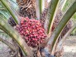 kelapa-sawitt.jpg