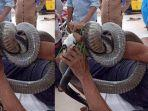 pasien-dilarikan-ke-rumah-sakit-cho-ra-tangan-terbelit-ular-kobra.jpg