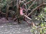Terjebak di Hutan Bakau Penuh Buaya, Pria Tanpa Busana Ini Makan Siput untuk Bertahan Hidup