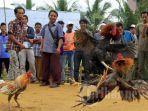 Seorang Pria Tewas Diterkam Ayam Milik Sendiri, Kakinya Sudah Dipasang Pisau untuk Sabung Ayam