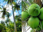 tanaman-kelapa-1.jpg