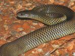 ular-mulga-pseudechis-australis-di-western-cape-australia-barat.jpg