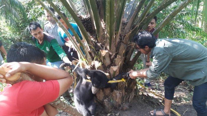 Tim Rescue BBKSDA Riau Berhasil Selamatkan Anak Beruang Dari Jeratan di Kecamatan Batang Gangsal