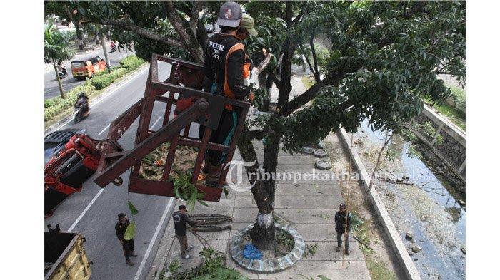 FOTO : Antisipasi Patah, Petugas Dari Dinas PUPR Potong Dahan Kayu di Jalan Sudirman Pekanbaru - dinas-pekerjaan-umum-dan-penataan-ruang1.jpg
