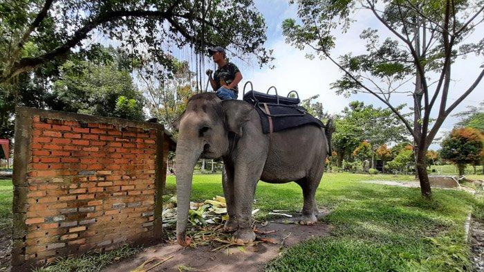 Gajah sumatera, Valetine beranjak seusai makan batang pisang. Gajah ini adalah satwa penghuni Kasang Kulim Zoo, Kabupaten Kampar.