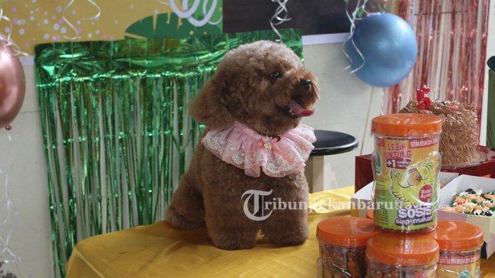 Hari ulang tahun ke-5 seekor anjing bernama Berry dirayakan dengan cukup istimewa di Shelter Dog Lovers Pekanbaru , Jalan Paus, Kamis (7/1/2021)